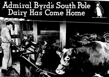 Byrd Larro cow advert 1935?